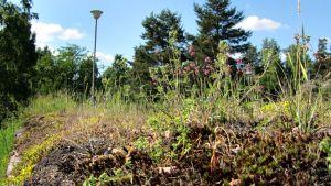 Hollolan kirkon kiviaidalta löytyy suunnaton määrä erilaisia luonnonkasveja, esimerkiksi hopeahanhikki, keltamaksaruoho ja mäkitervakko.