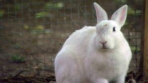 Valkoinen kani aitauksessa.