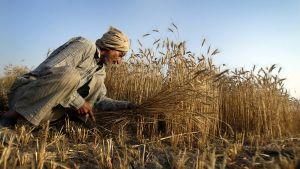 Intialainen maanviljelijä korjaa vehnäsatoa.