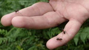 Muurahaisia kämmenellä.
