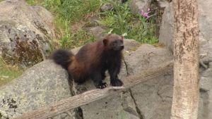 Ranuan Rasputin ahma. Sveitsistä Ranualle tullut Rasputin ahma on viime kevään aikana mahdollisesti varmistanut Ranuan eläipuistolle uuden ahmavauvan syntymisen vuoden vaihteen jälkeen.