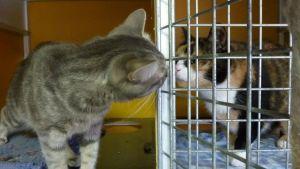 Kissat nuuhkivat toisiaan löytöeläinsuojassa.