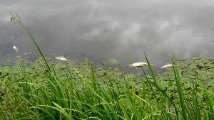 Kuolleita kaloja joessa
