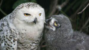 pöllö ja poikanen