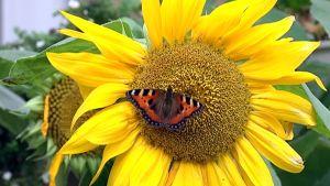 Nokkosperhonen auringonkukassa.