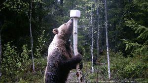 Karhu nuolee suolakiveä riistakameran kuvassa.