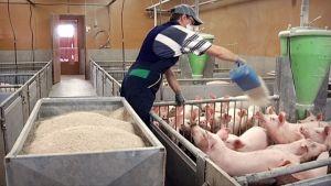 Siankasvattaja ruokkii sikoja rehulla.