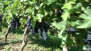 Ranskan Bourdeaun alueella viinitilojen rypäleiden laatua tarkkaillaan nykyään satelliittikuvin.