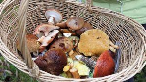 Sieniä korissa