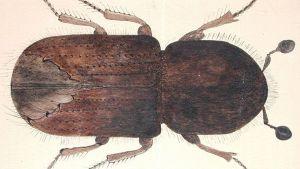 Kirjanpainaja kaarnakuoriainen on harvoja Suomessa esiintyviä tuhohyönteisiä, jotka voivat tappaa täysin terveen puun. Kirjanpainaja pesii kuusissa.