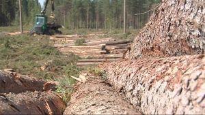 Metsäkone käsittelee puuta
