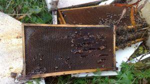 Karhun tuhoja mehiläistarhalla.