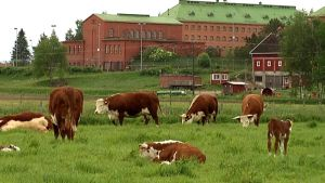 Lehmät laiduntavat Konnunsuon pelloilla.