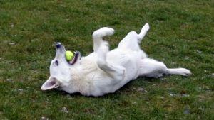 koira leikkii tennispallolla