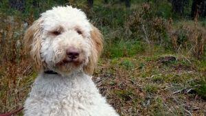 Valkoinen Labradoodle-koira syksyisessä metsässä.