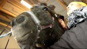 hevonen terapeuttina