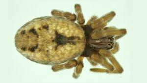 Kuvassa on taigavarpuhämähäkki, joka on uusi laji Suomessa.