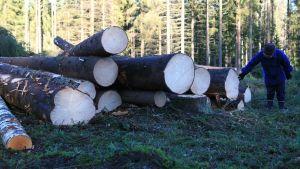 Kaadettuja puunrunkoja metsässä.