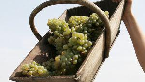 Työntekijä osallistuu sadonkorjuuseen viinitilalla Pessacissa, Bordeaux'n lähistöllä 28. elokuuta 2007.