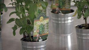 Stevia-kasvi