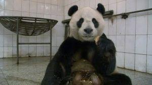 Yang Guang -niminen syömässä urospanda Ya'an Bifengxian suojelu- ja tutkimuskeskuksessa.