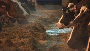 Lehmiä navetassa