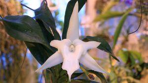 Tähtikämmekkä kukkii Ruissalon kasvitieteellisessä.