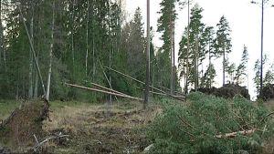 Myrsky kaatoi puita sähkölinjoille.