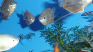 Kalojen hyvinvoinnista tulee huolehtia akvaariossakin.