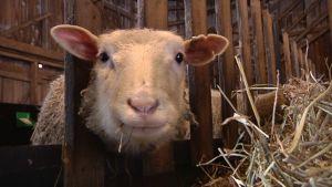 Lampaasta saadaan lihan lisäksi vuotia, villalankaa ja rasvasta jopa saippuaa.