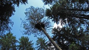 Kanahaukan pesäpuu - männyn havutupsu.