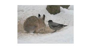 Luonto kutsuu - kuva 2 - rusakko ja varis