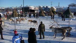 Poroja Oulun kauppatorilla Poroferia-tapahtumassa 2010.
