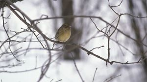 Kuvassa yksinäinen keltasirkku lehdettömässä puussa.
