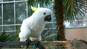 Valkoinen papukaija Juuso