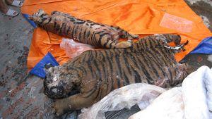 Kaksi veristä tiikerin ruhoa peitteiden päällä kadulla.
