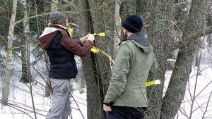 nainen merkitsee raita-puuta keltaisella nauhalla, mies katselee vieressä
