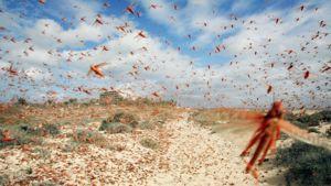 Tuhansittain heinäsirkkoja lentää parvessa Kanariansaarilla.
