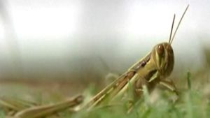Heinäsirkka ruohikossa.