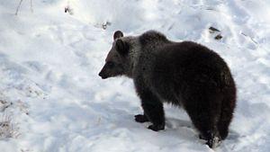 Milla-Karhu ei osannut mennä talviunille.