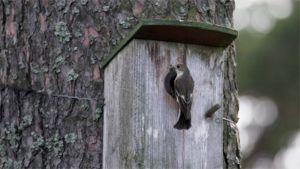 Kirjosieppo istuu linnunpöntön edessä.
