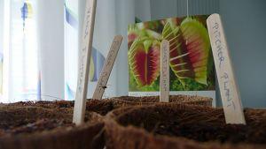 Lihansyöjäkasvien siemenet on kylvetty