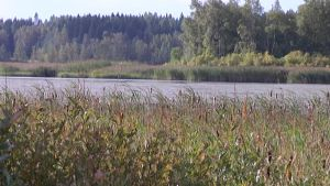 Kyynäröisten järven rannassa kasvaa runsaasti korkeaa heinää.