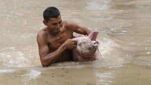 Mies kuljettaa sikaa korvista El Salvadorin Jiquiliscossa, joka sijaitsee Lempa-joen tulva-alueella.