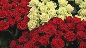 Punaisia ja valkoisia ruusuja.
