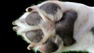 Koiran tassu