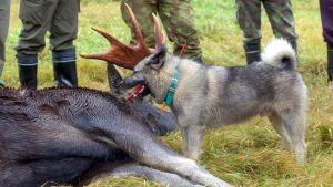 Kadettu hirvi ja metsästyskoira.