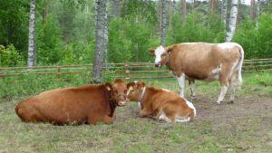 Lehmiä Savitaipaleen Hakamäellä.
