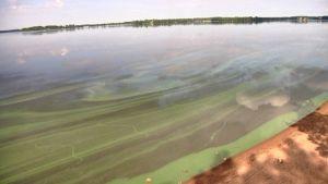 Sinilevää Kuortaneenjärven rannassa kesällä 2009.