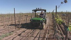 Mies ajaa mönkijällä viiniköynnösten keskellä